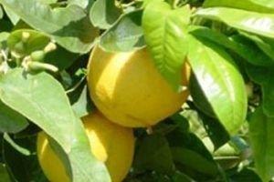 Що таке бергамот: ліки, чай або косметичний засіб