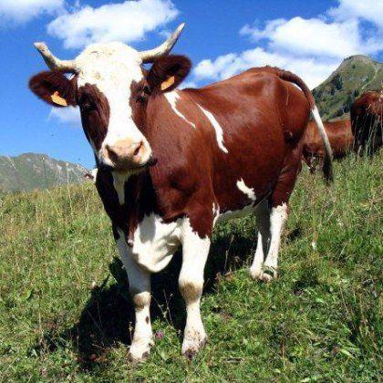 Як лікувати мастит у корови народними засобами?