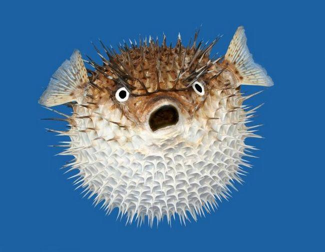 Риба-їжак - небезпечне ласощі
