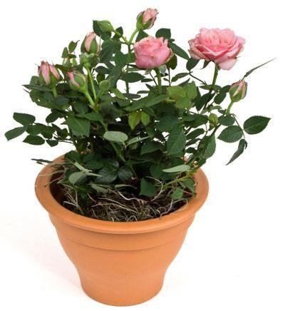 квіти, що символізують красу і гармонію сімейного щастя