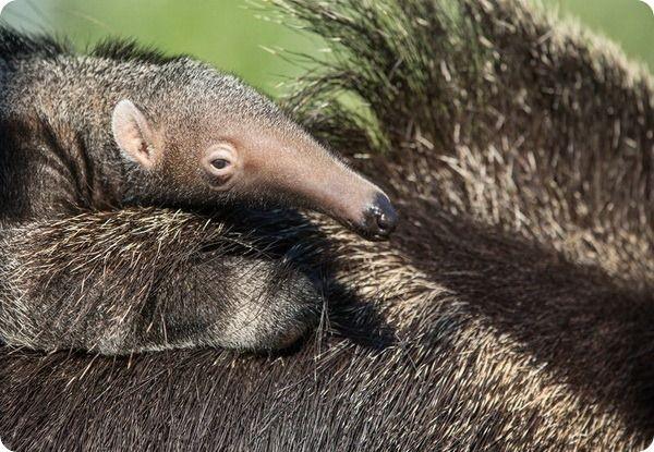 Близнюки карликової ігрунки в зоопарку белфаста