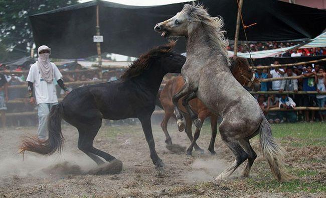 Бої коней - спорт, бізнес або варварська традиція?