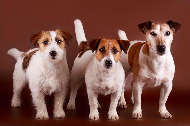 Джек-рассел тер`єр (фото) - життєрадісна порода собаки з фільму