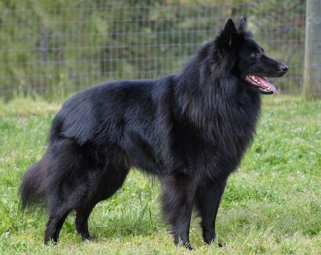 Грюнендаль або бельгійська вівчарка