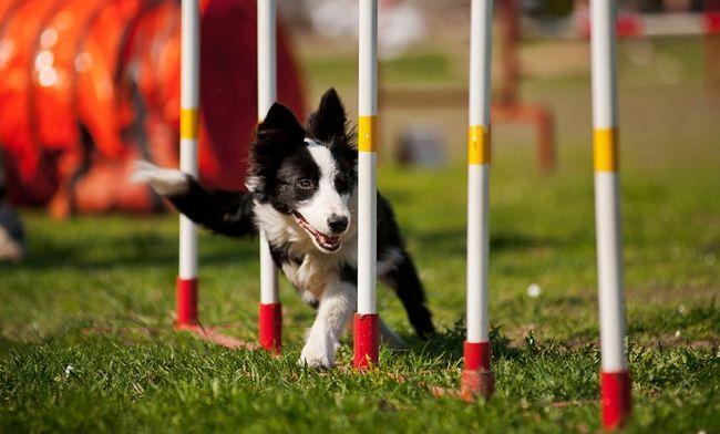 Невтомні, витривалі і спортивні собаки: вихованці для аджилити