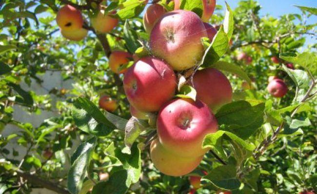 Яблучна дієта: принцип дії
