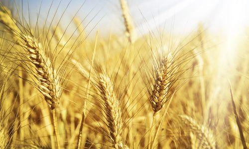 Прояв алергії на пшеницю у дітей і дорослих