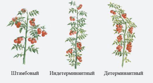 Як виростити детермінантні томати в теплиці?